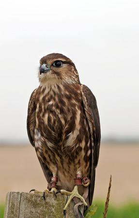mago merlin: MARZO, Reino Unido - 11 de septiembre: Un peque�o Merl�n ave rapaz es preparado para ser puesto a trav�s de una rutina de principiantes como parte de su formaci�n pantalla volando en 11 de septiembre 2014 marzo