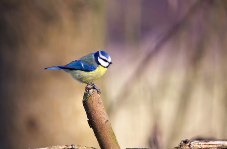 cyanistes: A Blue Tit perches on a small branch before flying to a local garden bird feeder Stock Photo