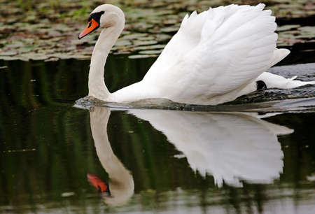 cygnet: An adult Swan moves gently along a slow flowing stretch of water