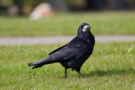 carrion: A Rook struts across the grass before snatching carrion from the ground Stock Photo