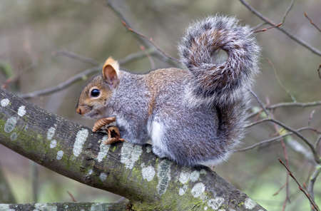 stash: A grey squirrel sits on a tree branch having just eaten a stash of peanuts