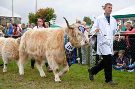 handlers: NEWBURY, UK - SEPTEMBER 21: Handlers parade the reserve Champion Highland cattle winner around the main show arena during the grand parade at the Berks County show on September 21, 2013 in Newbury