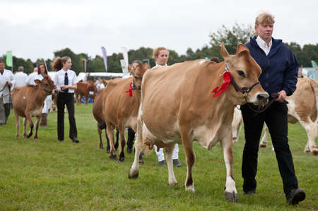 jersey cattle: NEWBURY, UK - SEPTEMBER 21: Handlers parade a selection of Jersey cows around the show arena for the public to view during the grand parade at the Berks County show on September 21, 2013 in Newbury Editorial