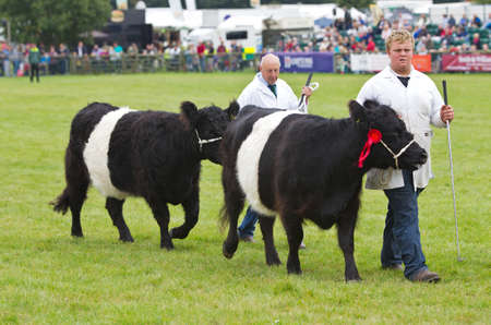 handlers: NEWBURY, UK - SEPTEMBER 21: Handlers parade the champion Belted Galloway cows around the main show arena during the grand parade at the Berks County show on September 21, 2013 in Newbury Editorial
