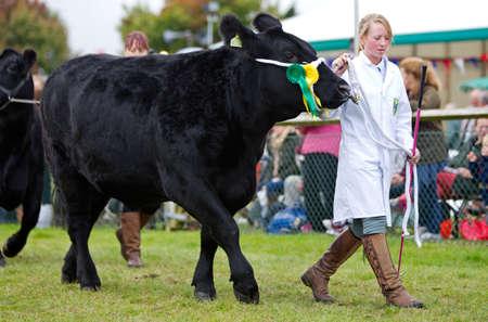 bullock animal: NEWBURY, UK - SEPTEMBER 21: A livestock handler parades one of the shows champion bullocks around the main show arena during the grand parade at the Berks County show on September 21, 2013 in Newbury