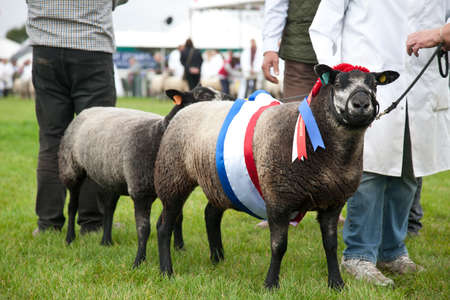 show ring: NEWBURY, UK - SEPTEMBER 21: The overall winner and reserve champion in the sheep competition show off there winning animals in the parade ring at the Berks County Show on September 21, 2013 in Newbury.