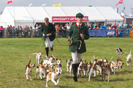 bloodsport: NEWBURY, UK - SEPTEMBER 21: Members of a local Beagle Hunt demonstrate the workings of the dog pack to the public in the main arena at the Berks County show on September 21, 2014 in Newbury Editorial