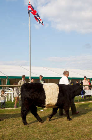 handlers: NEWBURY, UK - SEPTEMBER 21: Handlers parade the champion Belted Galloway cows around the main show arena during the grand parade at the Berks County show on September 21, 2014 in Newbury.