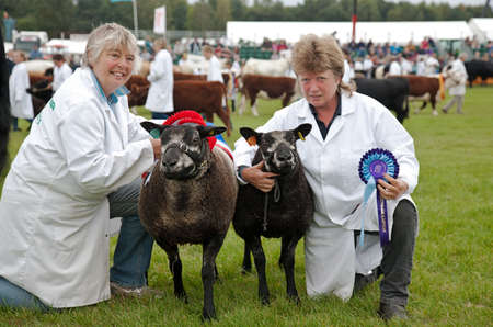 ovine: NEWBURY, UK - SEPTEMBER 21: The overall winner and reserve champion in the sheep competition show off there winning animals in the parade ring at the Berks County Show on September 21, 2013 in Newbury.