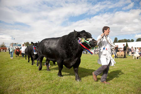 bullock: WEEDON, UK - AUGUST 27: The Grand Champion Hereford bullock is paraded in front of the judges line during the Grand Livestock parade at the Bucks County show on August 27, 2015 in Weedon Editorial