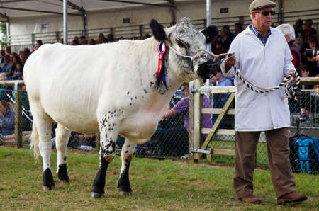showground: NEWBURY, UK - SEPTEMBER 21: An award winning bull is lead around the arena by his handler during the Grand Livestock Finale show at the Berks County show on September 21, 2014 in Newbury