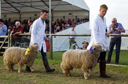 ovine: NEWBURY, UK - SEPTEMBER 21: Two award winning sheep are lead around the arena by their handlers during the Grand Livestock Finale show at the Berks County show on September 21, 2014 in Newbury Editorial