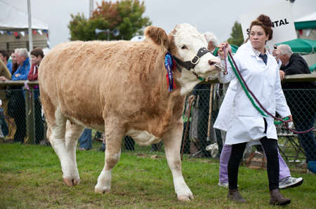 showground: NEWBURY, UK - SEPTEMBER 21: A handler parades the reserve champion bullock around the main show arena during the grand parade at the Berks County show on September 21, 2013 in Newbury