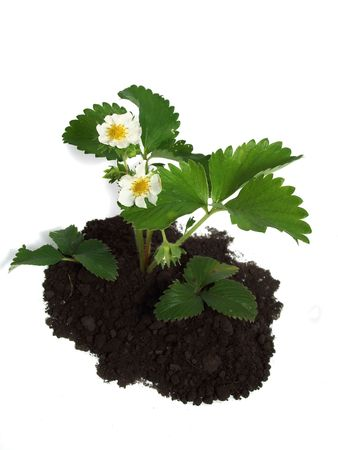 Strawberry plant with flowers over white photo