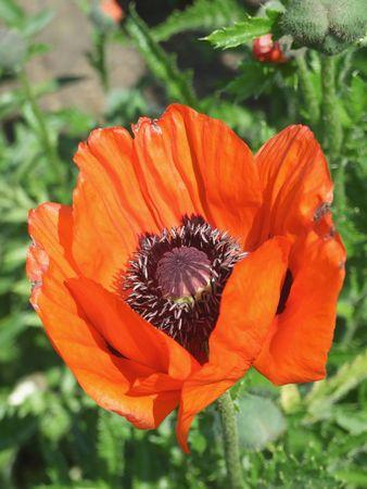 papaver: Poppy flower (Papaver rhoeas) Stock Photo