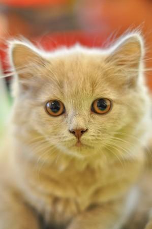 Beautiful gray cat looking on camera. Soft focus Stock Photo - 8196130