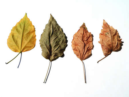 patchy: Four dry leaves on white background Stock Photo