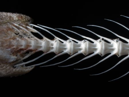 Sea fish white bone close-up photo