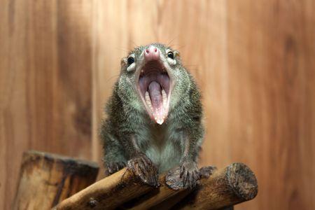 roedor: Tupaia glis musga�o de �rbol de pieles de animales roedores ardilla Foto de archivo