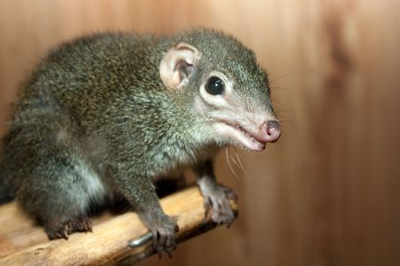 rodent: Tupaia glis tree shrew rodent animal fur squirrel