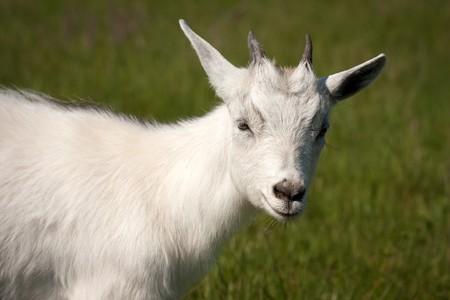 Cute white horned goat kid animal livestock mammal photo