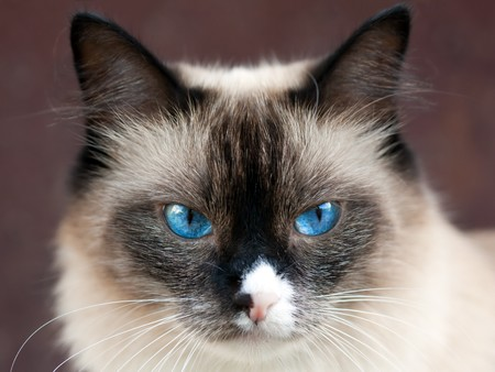 blue siamese: Feline animal pet siamese domestic cat looking eye