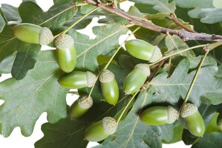 Autumn nature oak tree acorn nut green leaf branch Stock Photo - 7548877