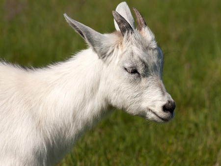 Cute white horned goat kid animal livestock mammal photo