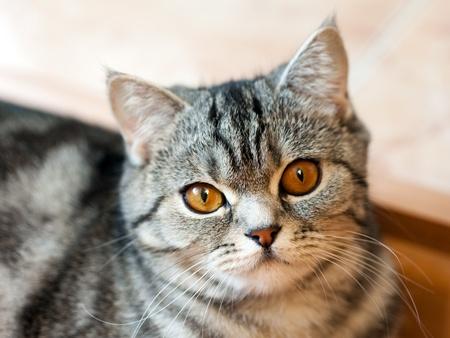 Feline animal pet british domestic cat looking eye photo