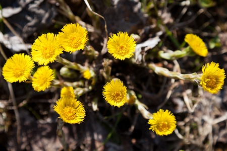 Foalfoot or coltsfoot yellow spring nature flower photo