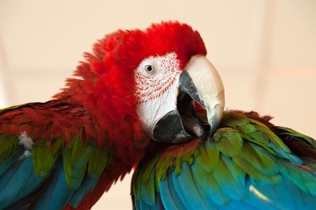 Pet animal - tropical parrot bird feather and beak photo