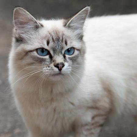 Feline animal pet siamese domestic cat looking eye photo