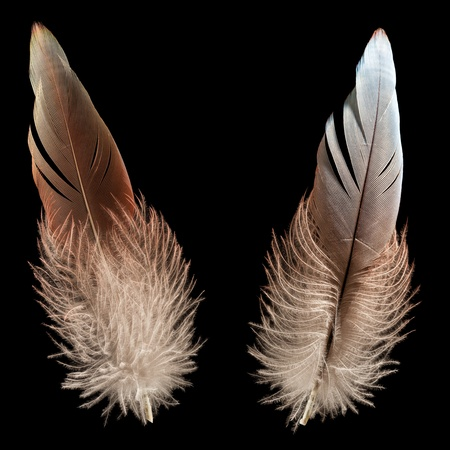 Nature wing fly bird feather quill black isolated photo