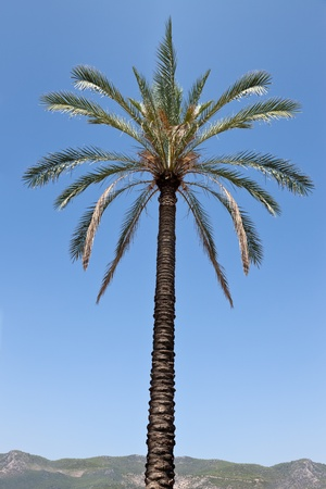 date palm tree: Tall tropical date palm tree over blue sky and mountain horizon
