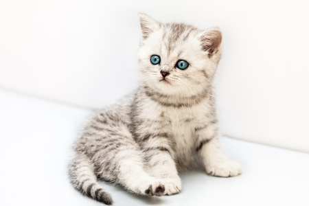 british shorthair: Feline animal pet little british domestic silver tabby cat with blue looking eyes Stock Photo