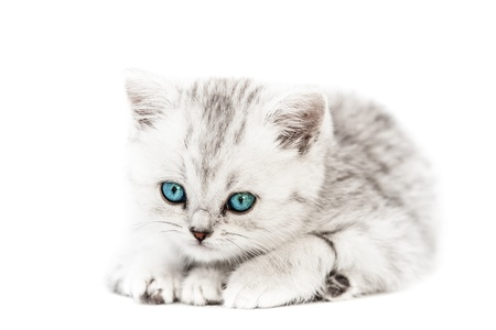 pussycat: Feline animal pet little british domestic silver tabby cat with blue looking eyes Stock Photo