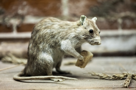 snouts: Rodent rat animal holding piece of bread food