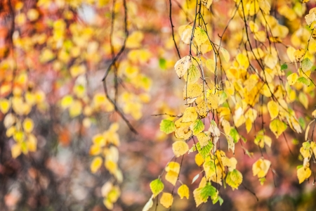 Yellow nature colors of autumn season tree leaves photo
