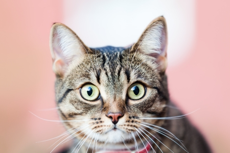 grey tabby: Feline animal pet little british domestic cat curious face with yellow looking eyes