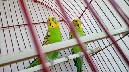 A pair of sparrows on a branch in a cage Standard-Bild