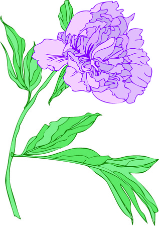 Pink peony isolated white background.