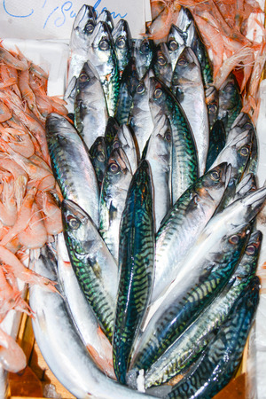 bluefish: mackerel just caught in the sea off Sicily Stock Photo