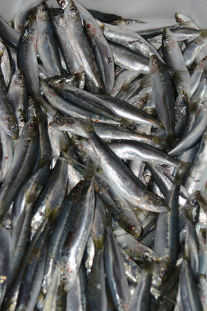 fished: freshly fished sardines at fish market in italy Stock Photo