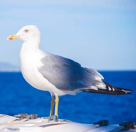 marine bird: rare close view of a seagull in the sea