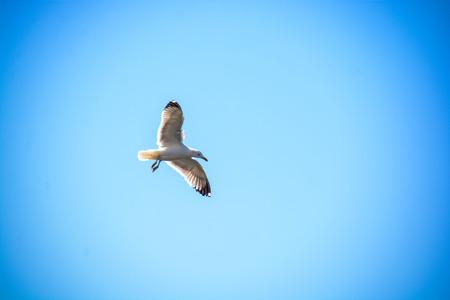 marine bird: seagull fly over italian sea