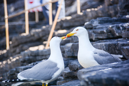 marine bird: seagulls fall in love kiss to kiss
