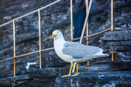 marine bird: seagulls menacing scream on the cliff Stock Photo
