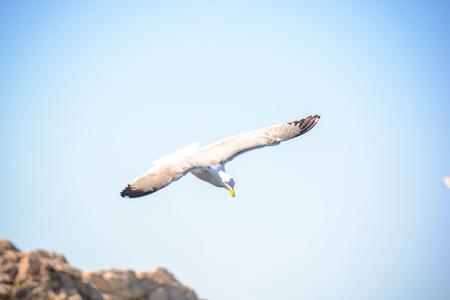 marine bird: seagull gliding beats on prey in the wind Stock Photo