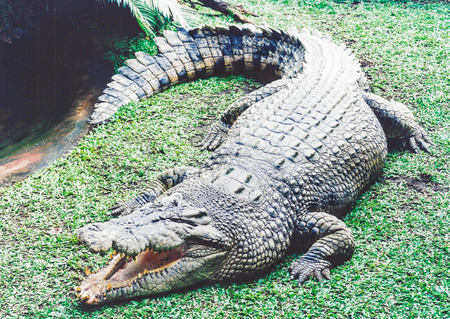 heir: really wild australian fresh water crocodile on hunt