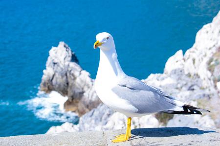 marine bird: seagull show itself like a model on the rocks